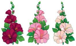 Wektorowa wiązka z konturu Alcea rosea lub Hollyhock kwiat w menchii, białego, pączkowego i zielonego liściu na białym tle, royalty ilustracja