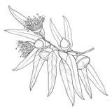 Wektorowa wiązka z konturu Eukaliptusowym globulus lub Tasmanian błękitny dziąsło, owoc, kwiat, liście na białym tle ilustracji
