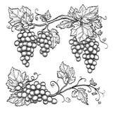 Wektorowe ilustracyjne winogrono gałąź Zdjęcie Royalty Free