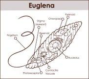 Wektorowego euglena przekroju poprzecznego diagrama protists przedstawicielski eug ilustracji