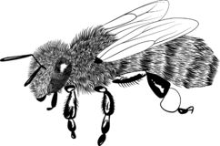 Wektorowego rytownictwa miodowa pszczoła odizolowywająca na bielu obraz stock