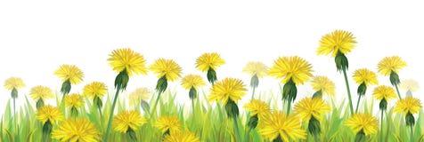 Wektorowi żółci dandelions odizolowywający. royalty ilustracja