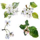 Wektorowi akwareli jabłoni kwiaty Obrazy Stock
