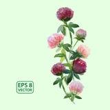 Wektorowi akwareli koniczyny kwiaty Ilustracja Wektor