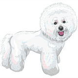 Wektorowy biały śliczny psi Bichon Frise traken Obraz Stock
