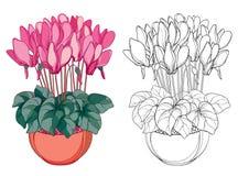 Wektorowy bukiet z konturów cyklamenami lub Alpejski fiołek w round garnku Kwitnie, pączkuje i leaf, odosobniony na białym tle Zdjęcia Stock