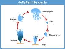 Wektorowy cykl jellyfish dla dzieciaków ilustracji