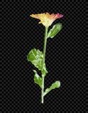 Wektorowy Kredowy rysunek, Folująca kwiat Kolorowa ilustracja Odizolowywająca na Ciemnym Przejrzystym tle royalty ilustracja