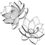 Wektorowy lotosowy kwiat Kwiecisty botaniczny kwiat Odosobniony ilustracyjny element Ilustracji