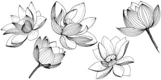 Wektorowy lotosowy kwiat Kwiecisty botaniczny kwiat Odosobniony ilustracyjny element Ilustracja Wektor