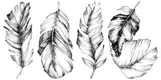 Wektorowy ptasi piórko od skrzydła odizolowywającego Odosobniony ilustracyjny element Ilustracji
