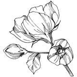 Wektorowy Rosa canina kwiat Czarny i biały grawerująca atrament sztuka Odosobniony Rosa canina ilustracji element ilustracji
