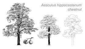 Wektorowy rysunek kasztan (Aesculus hippocastanum) Obraz Stock