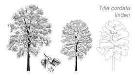 Wektorowy rysunek lipowy (Tilia cordata) Fotografia Royalty Free