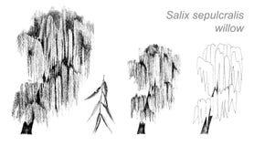 Wektorowy rysunek wierzba (Salix sepulcralis) Zdjęcie Royalty Free