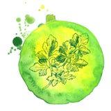 Wektorowy tło, kreśli pikantność i ziele Ilustracja kolendery ilustracji