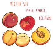 Wektorowy ustawiający z brzoskwinią, morela, nektaryna Obraz Stock