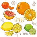 Wektorowy ustawiający z cytrus owoc: cytryna, wapno, pomarańcze, tangerine Obraz Royalty Free