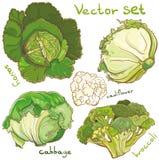 Wektorowy ustawiający z kapustą, kalafiorem, cole, brokułami i savoy, Zdjęcie Royalty Free