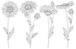 Wektorowy ustawiający z konturu Chamomile kwiatami, pączkiem i liściem odizolowywającymi na białym tle, Ozdobni Chamomiles w kont royalty ilustracja