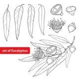 Wektorowy ustawiający z konturu Eukaliptusowym globulus, Tasmanian błękitnym dziąsło, owoc, kwiat lub liście na białym tle, ilustracji