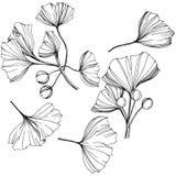 Wektoru ginkgo ilustracji Odosobniony element Liść rośliny ogródu botanicznego ulistnienie Czarny i biały grawerująca atrament sz royalty ilustracja