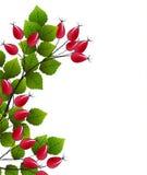 Wektoru różany biodro ilustracji