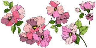 Wektoru Rosa Różowy canina Kwiecisty botaniczny kwiat Grawerująca atrament sztuka Odosobniony Rosa canina ilustracji element royalty ilustracja