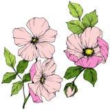 Wektoru Rosa Różowy canina Kwiecisty botaniczny kwiat Grawerująca atrament sztuka Odosobniony Rosa canina ilustracji element ilustracji