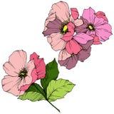 Wektoru Rosa Różowy canina Kwiecisty botaniczny kwiat Grawerująca atrament sztuka Odosobniony Rosa canina ilustracji element ilustracja wektor