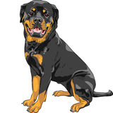 Wektoru Rottweiler psi traken Zdjęcie Stock