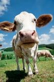 Wekzeugspritze einer Kuh Stockfotografie