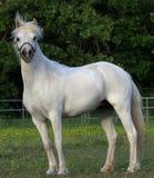 Welch Pony Royalty Free Stock Photos