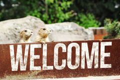 Welcome Merkat - Erdmännchen. Welcome Merkat - Erdmännchen animal funny Royalty Free Stock Photo