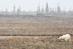 Welcome snow, welcome life. A polar bear watches the first snow of the season, after months of starvation winter and ice are coming Stock Images