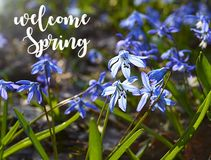 Welcome Spring card.Blue Scilla flowers in a spring forest.Blue snowdrops.Scilla siberica Squill flowers. Stock Image
