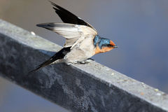 Welcome Swallow on a fence Stock Images