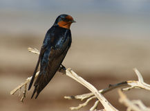 Welcome Swallow Royalty Free Stock Photography