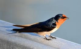 Welcome Swallow Royalty Free Stock Image