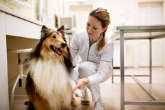 Welcome to dog patient before examining at pet clinic. Veterinarian welcome to dog patient before examining at pet clinic Stock Photography