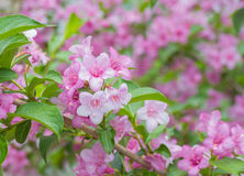Welcome to garden world of Weigela. Deciduous shrub Royalty Free Stock Photography