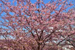 Sakura blossom in Japan stock photo
