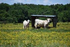Welke ` s op het Oosten Texas Cattle Royalty-vrije Stock Fotografie