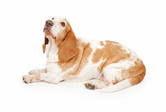 Well Behaved Basset Hound Laying Stock Photography