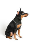 Well-bred Miniature Pinscher. On white Royalty Free Stock Images