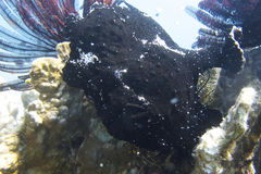 Well Camouflaged Black Frog Fish off Padre Burgos, Leyte, Philippines. The diving around the small but vibrant town of Padre Burgos, is a real paradise for Royalty Free Stock Image