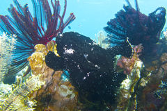 Well Camouflaged Black Frog Fish off Padre Burgos, Leyte, Philippines. The diving around the small but vibrant town of Padre Burgos, is a real paradise for Stock Photo