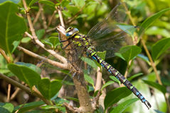 Well camouflaged dragonfly Stock Image