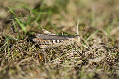 Well camouflaged Field Grasshopper Stock Image