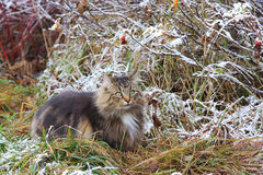 Well camouflaged Norwegian forest cat Stock Photos